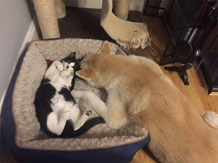cat stole dog's bed - Cat