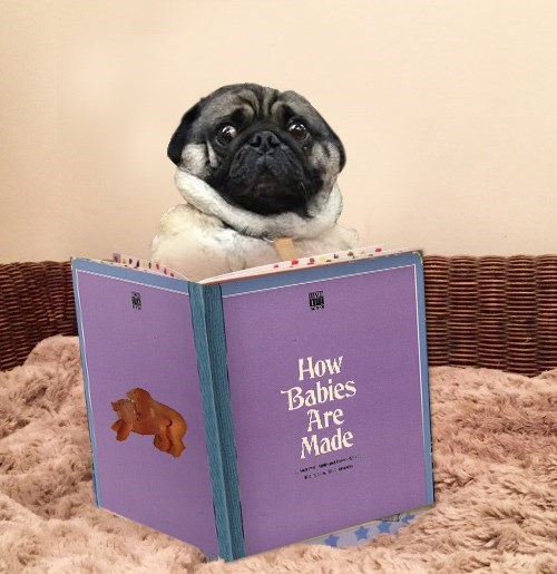 Pug - How Babies Are Made wwne ner