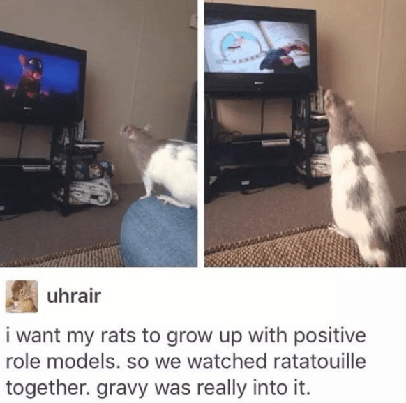 wholesome meme - Cat - uhrair i want my rats to grow up with positive role models. so we watched ratatouille together. gravy was really into it.