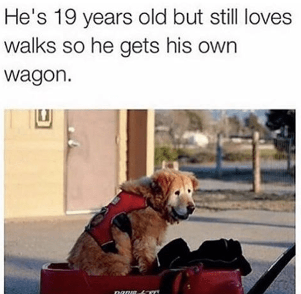 wholesome meme - Dog - He's 19 years old but still loves walks so he gets his own wagon.