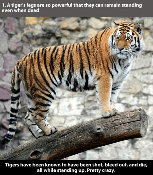 Tiger - 1.A tiger's legs are so powerful that they can remain standing even when dead Tigers have been known to have been shot, bleed out, and die, all while standing up. Pretty crazy.