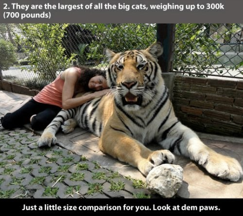 Tiger - 2. They are the largest of all the big cats, weighing up to 300k (700 pounds) Just a little size comparison for you. Look at dem paws.