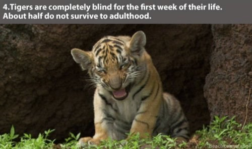Vertebrate - 4.Tigers are completely blind for the first week of their life. About half do not survive to adulthood. headikeanfa