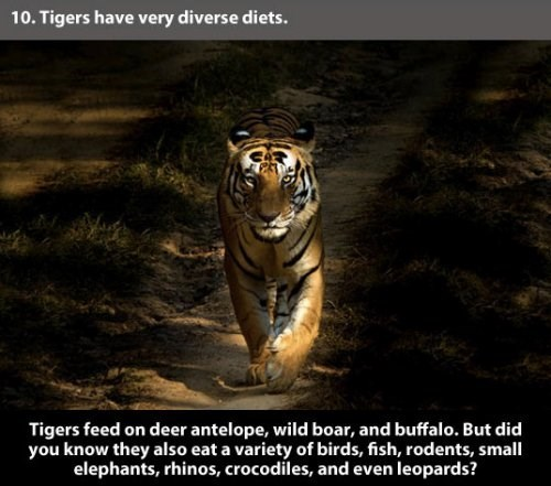 Tiger - 10. Tigers have very diverse diets. Tigers feed on deer antelope, wild boar, and buffalo. But did you know they also eat a variety of birds, fish, rodents, small elephants, rhinos, crocodiles, and even leopards?