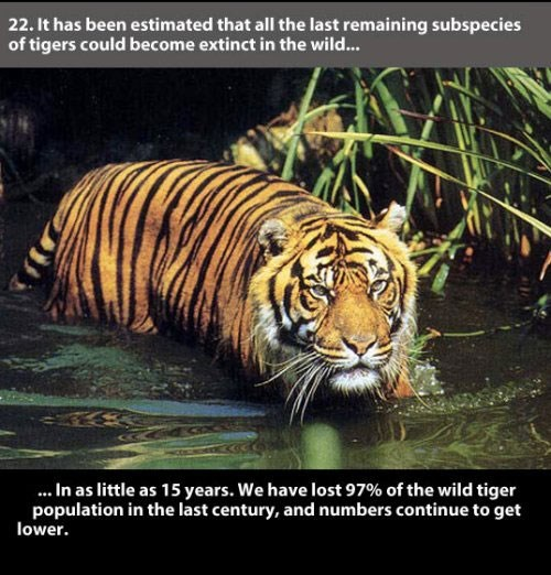 Tiger - 22. It has been estimated that all the last remaining subspecies of tigers could become extinct in the wild... .In as little as 15 years. We have lost 97% of the wild tiger population in the last century, and numbers continue to get lower