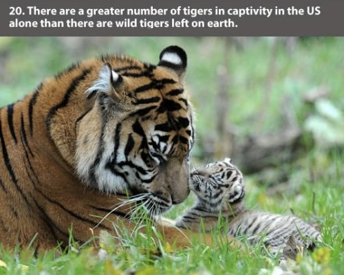 Tiger - 20. There are a greater number of tigers in captivity in the US alone than there are wild tigers left on earth.
