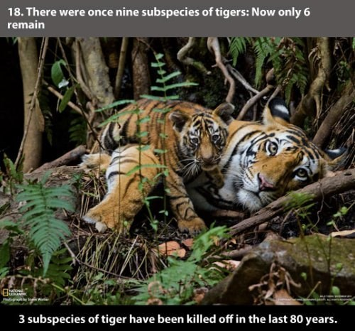 Tiger - 18. There were once nine subspecies of tigers: Now only 6 remain 3 subspecies of tiger have been killed off in the last 80 years.