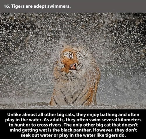 Text - 16. Tigers are adept swimmers. Unlike almost all other big cats, they enjoy bathing and often play in the water. As adults, they often swim several kilometers to hunt or to cross rivers. The only other big cat that doesn't mind getting wet is the black panther. However, they don't seek out water or play in the water like tigers do.