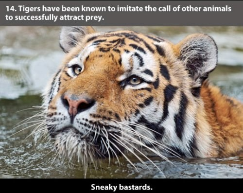 Tiger - 14. Tigers have been known to imitate the call of other animals to successfully attract prey. Sneaky bastards.