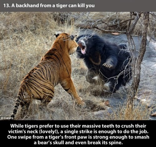 Vertebrate - 13.A backhand from a tiger can kill you Caters While tigers prefer to use their massive teeth to crush their victim's neck (lovely!), a single strike is enough to do the job. One swipe from a tiger's front paw is strong enough to smash a bear's skull and even break its spine.
