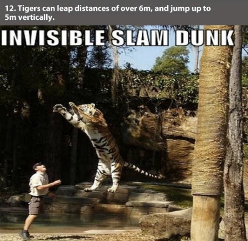 Bengal tiger - 12. Tigers can leap distances of over 6m, and jump up to 5m vertically. INVISIBLE SLAM DUNK