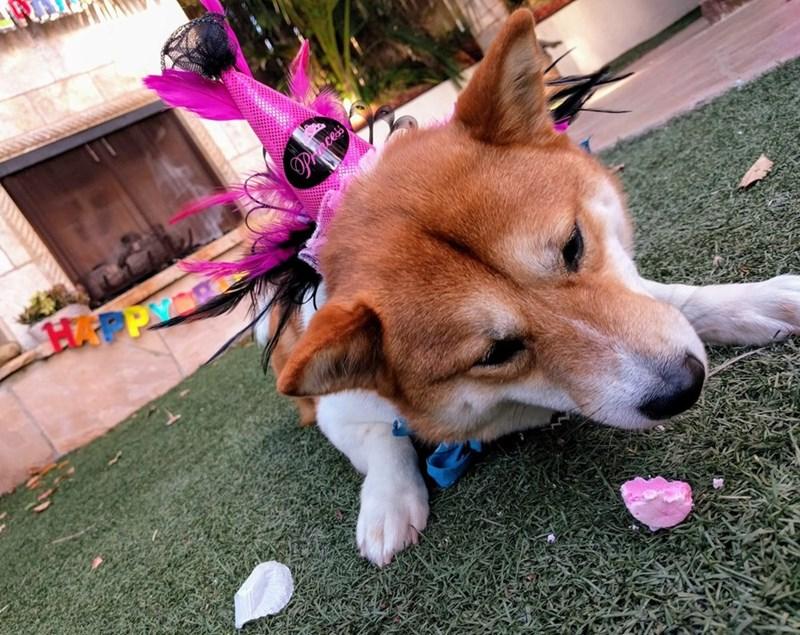birthday party - Dog - Pce cess