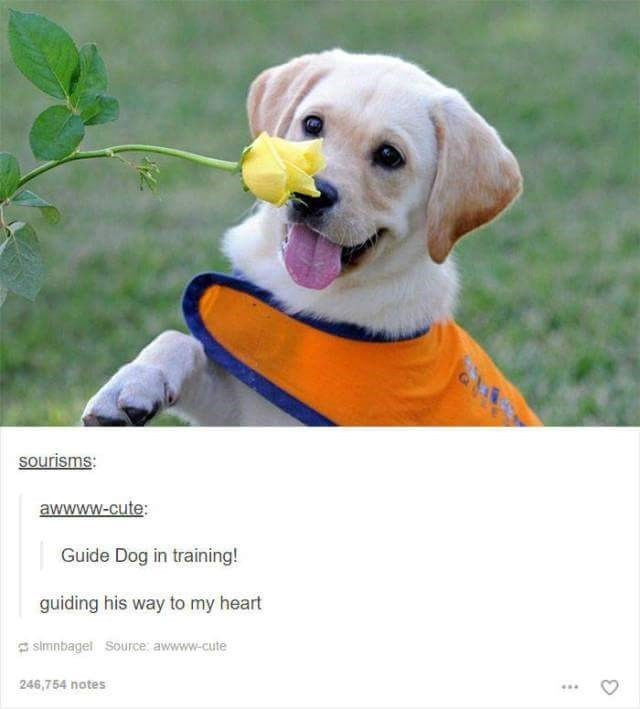 Dog - sourisms: awwww-cute: Guide Dog in training! guiding his way to my heart simnbagel Source: awwww-cute 246,754 notes