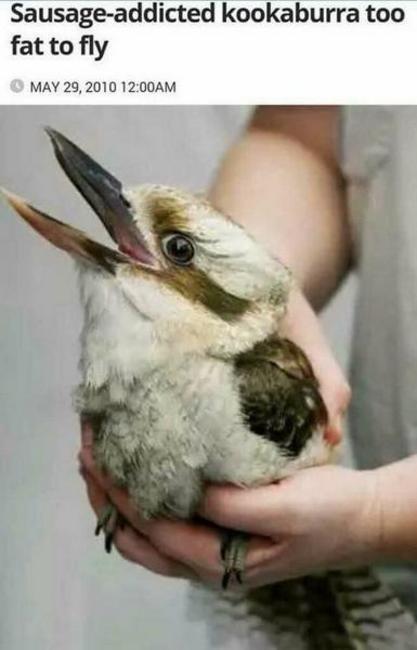 Bird - Sausage-addicted kookaburra too fat to fly MAY 29, 2010 12:00AM