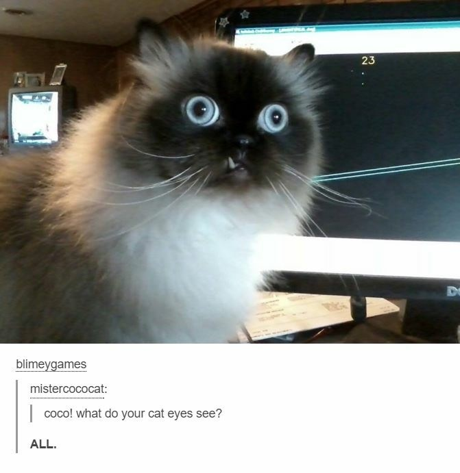 Cat - blimeygames mistercococat: coco! what do your cat eyes see? ALL. 23