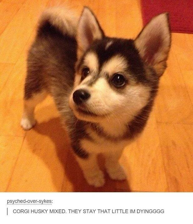 Dog - psyched-over-sykes: CORGI HUSKY MIXED. THEY STAY THAT LITTLE IM DYINGGGG