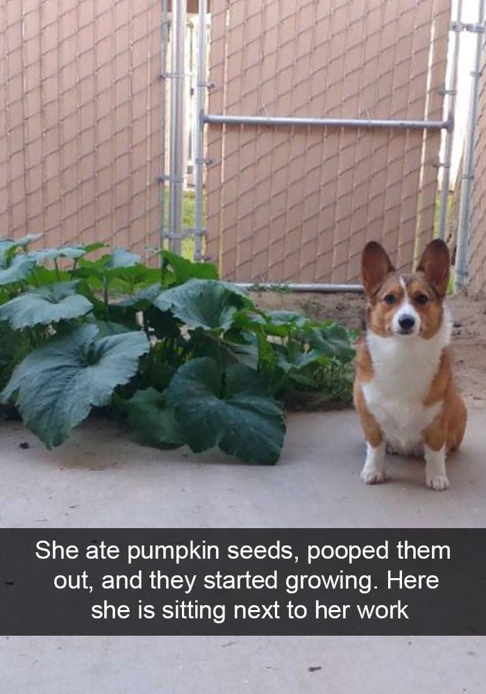Welsh Corgi - She ate pumpkin seeds, pooped them out, and they started growing. Here she is sitting next to her work