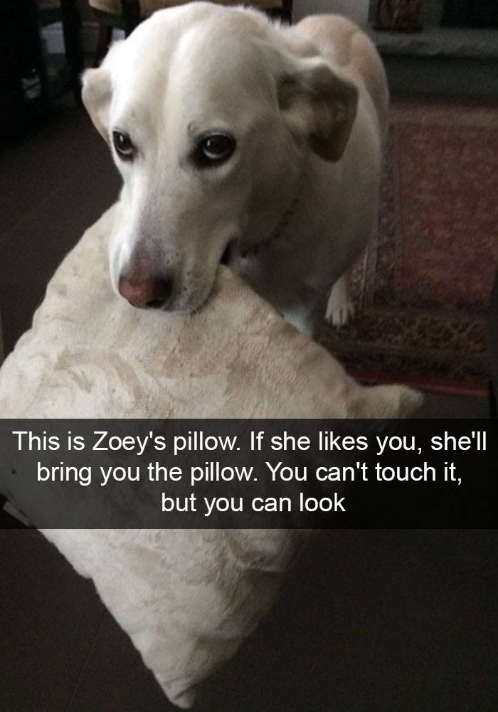 Dog breed - This is Zoey's pillow. If she likes you, shell bring you the pillow. You can't touch it, but you can look