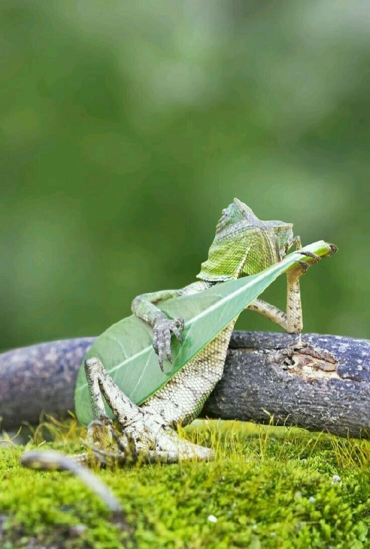 Funny picture of a lizard playing the leaf banjo.