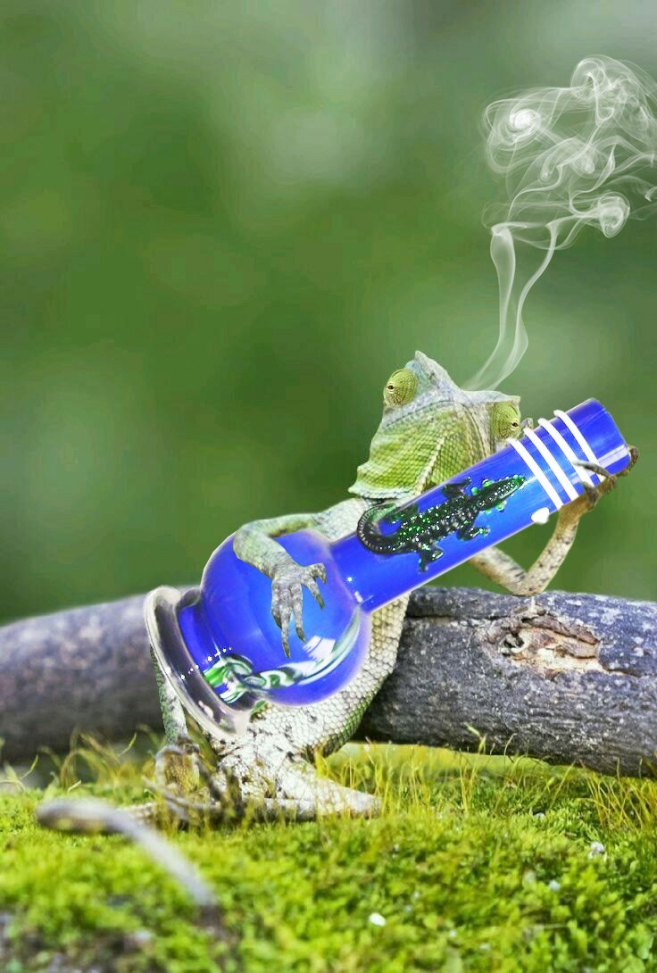 Funny picture of a bong photoshopped into the banjo the gecko lizard was holding.