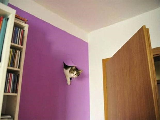 Cat that busted through a purple wall.
