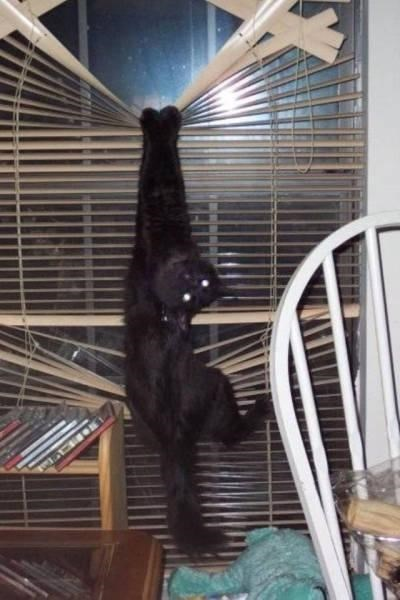 Black cat that destroyed the blinds