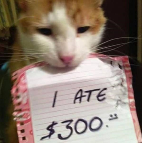 Picture of a cat that ate $300.