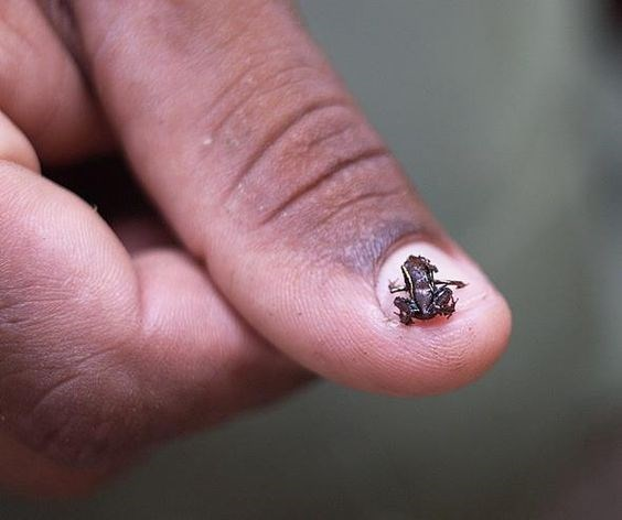 Tiny frog so small it fits on your fingernail.