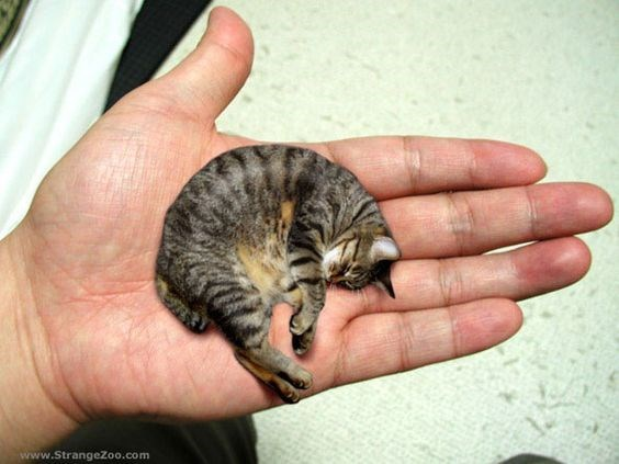 Obviously fake Photoshop of sleeping cat made to look like it is sleeping in the palm of someones hand.