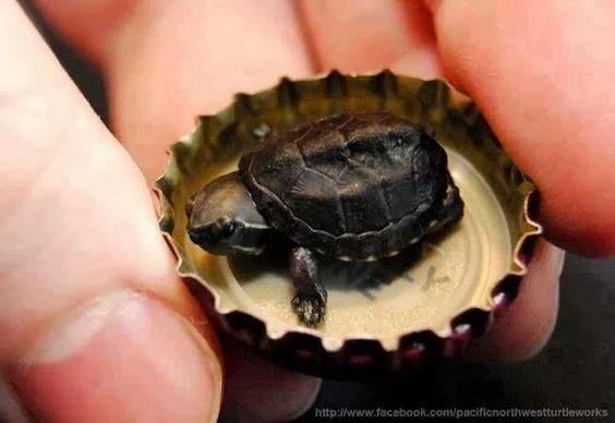 Cute picture of a tiny turtle inside a bottle cap.