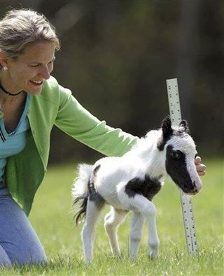 Tiny colt baby horse being measured with woman holding a ruler.