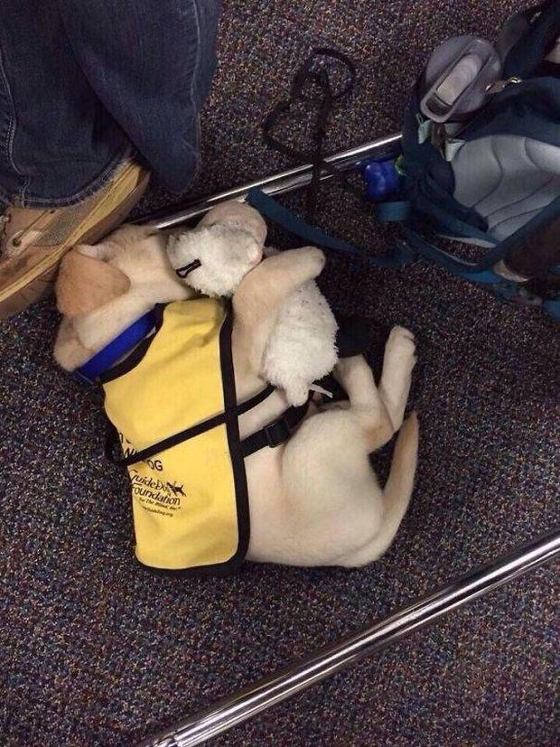 Cute puppy with puppy toy napping on his first day on the job.