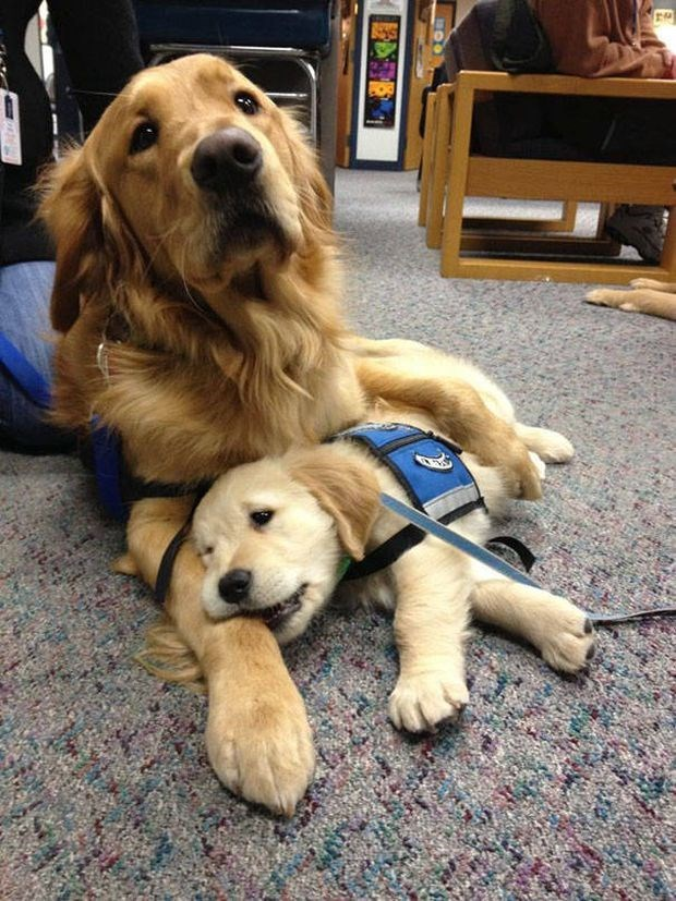 Golden Lab and puppy ready to work for the police force.
