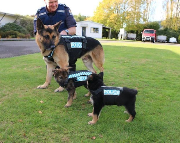 Puppies and dogs of various sizes ready to work as police dogs.