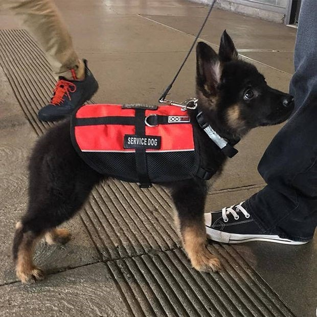 Cute puppy service dog.