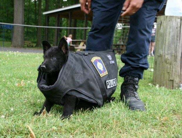 Police dog puppy that has a vest on that is way too big on him.