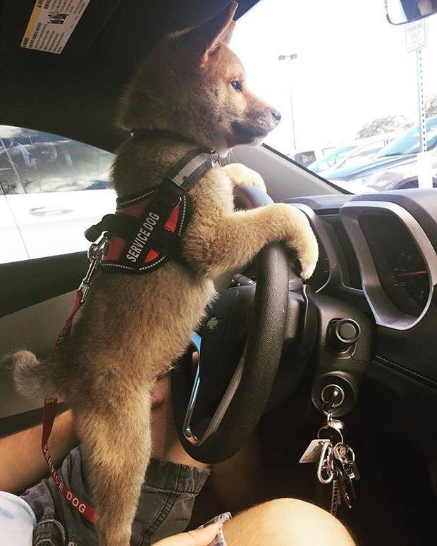 Puppy police dog learning how to drive a car.