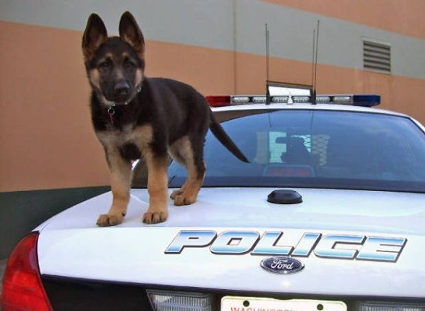 Belgian Shepard K-9 puppy standing on top of a police car.