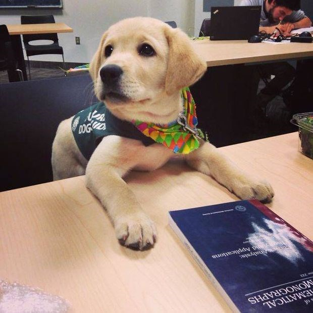 Golden Retriever puppy for the police.
