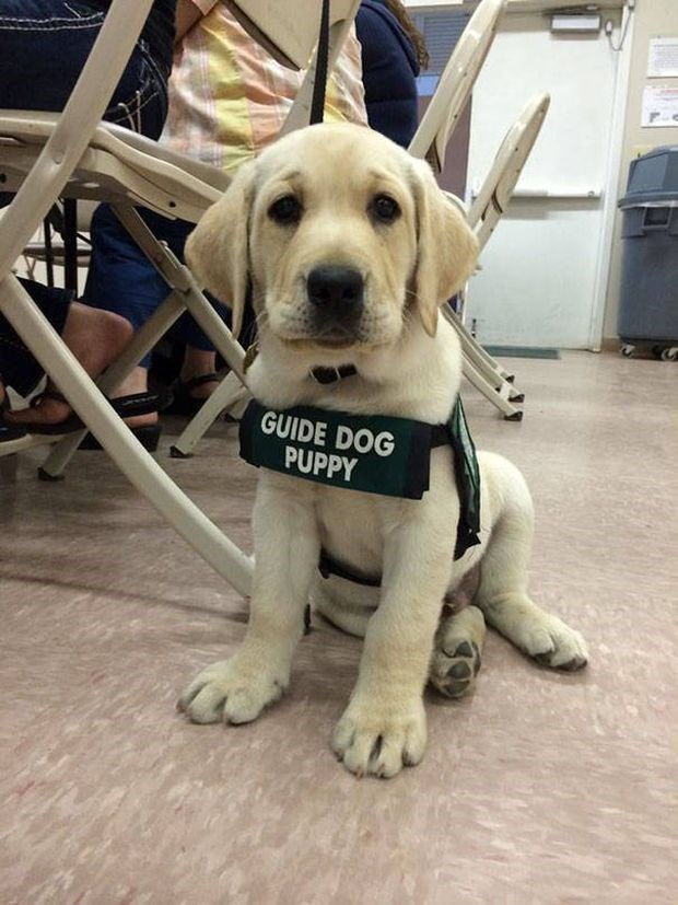 Guide dog puppy, first day on the job.