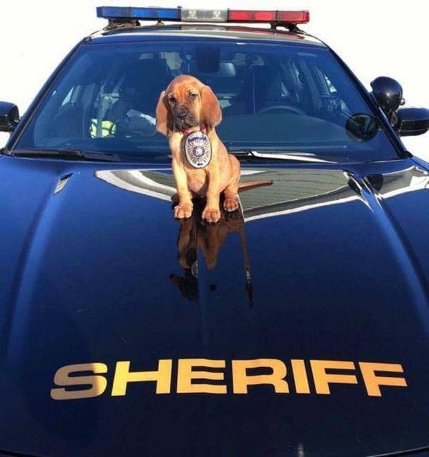Dachshund puppy police dog on a police car hood.