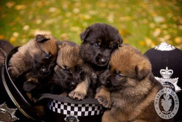 Police puppies snuggling all cute with police hat.