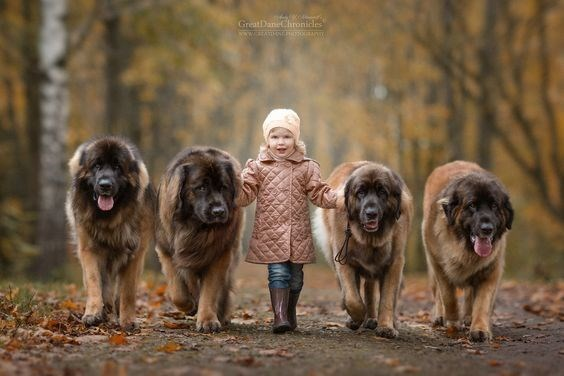 Autumn young girl walking with 4 huge dogs.