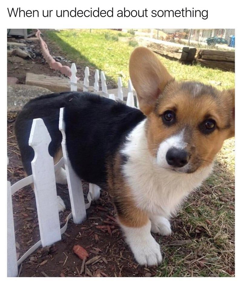 When you're undecided about something. Corgi on the fence.