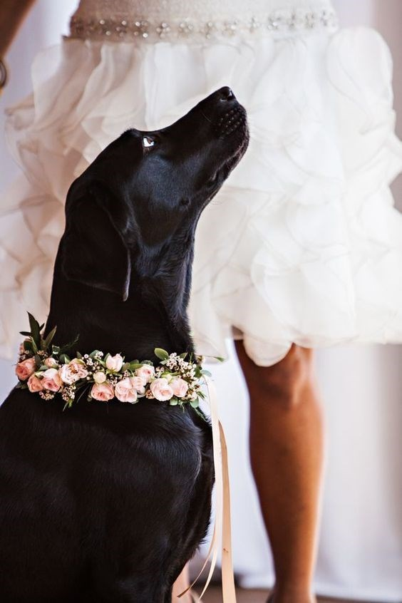 Black Labrador at the wedding reception.
