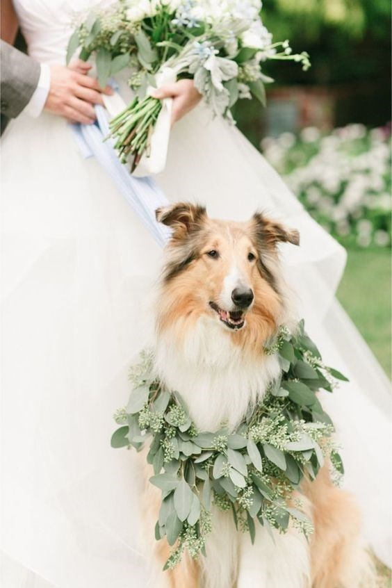 Dog that looks like Lassie at a wedding.