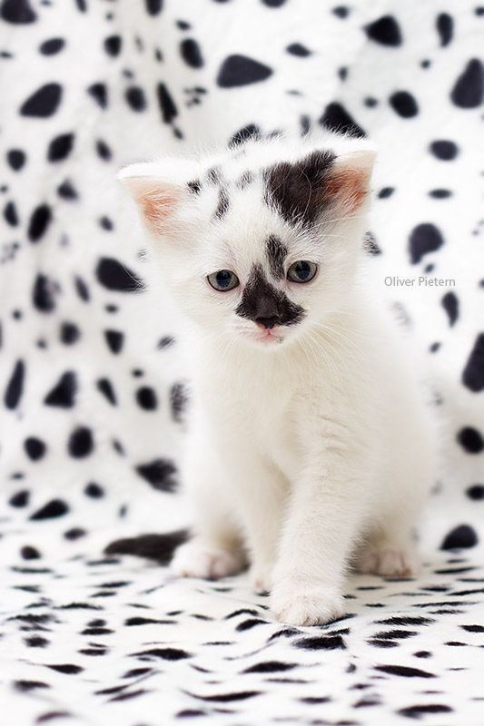 Spotted kitten against a spotted background pattern.