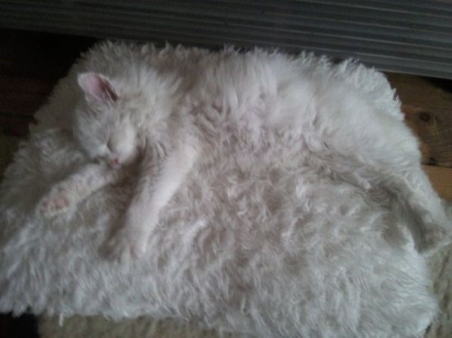 Funny picture of a white fluffy cat sleeping on a white fluffy rug.