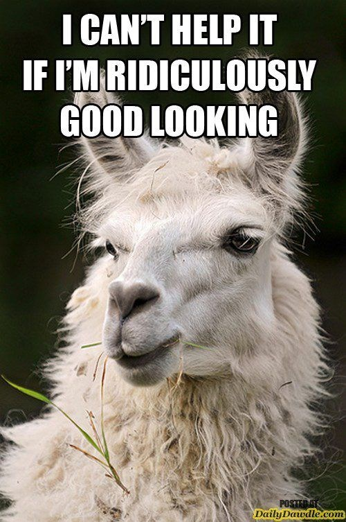 Funny meme of a llama saying he can't help if it that he is seriously good looking.