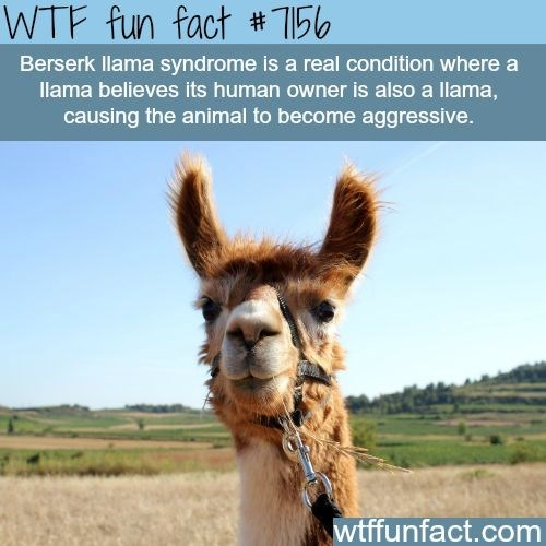 Fun fact about berserk llama syndrome which is a real thing, apparently.